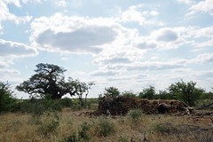 Baobab - dead and alive (sacipere) Tags: mapungubwe limpopo baobab tree arvore baum southafrica suedafrika