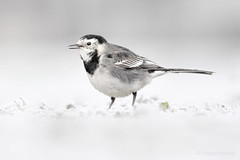 Wagtail in the snow (diana.enroute) Tags: wildlife wild wildlifephotography nature natur outdoors animal tier animalphotography animalportrait tierfotografie tierportrait bird aves vogel birdphotography birdportrait birding birdwatch birdwatching spotting vogelbeobachtung ornithologie ornithology passerinebird sperlingsvogel passeriformes singvogel passeri passeres singingbird songbird motacillidae motacilla wagtail stelzen bachstelze motacillayarrelli piedwagtail nottingham nottinghamshire greatbritain unitedkingdom winter snow frost ground