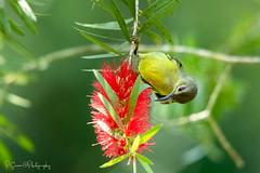 Female Brown-throated Sunbird (Anthreptes malacensis) (paramasivamtharumalingam) Tags: bird sunbird