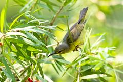 Female Brown-throated Sunbird (Anthreptes malacensis). (paramasivamtharumalingam) Tags: bird sunbird