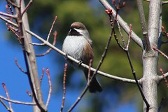 Boreal Chickadee (rwkphotos) Tags: borealchickadee poecilehudsonicus novascotia canada