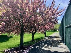 Garrison Forest ~ Kwanson Cherry trees (karma (Karen)) Tags: garrisonforest owingsmills maryland tenniscourts trees kwansoncherry fences hff iphone shadows