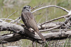 White-crowned Sparrow (Michael Pike) Tags: white crowned sparrow bird dalles oregon zonotrichia leucophrys