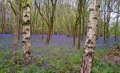 Bluebell vista (Brian Southward) Tags: woods trees flowers