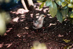 new in the farm (jcc90) Tags: nikon d3200 animal nature baby beginner