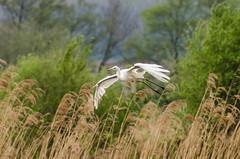 DSC_2588 (Clickingnan) Tags: somersetlevels rspb hamwall glastonbury avalon marshes bird egret