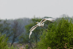 DSC_2586 (Clickingnan) Tags: somersetlevels rspb hamwall glastonbury avalon marshes bird egret