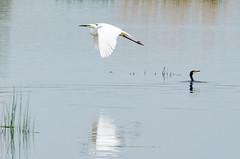DSC_2577 (Clickingnan) Tags: somersetlevels rspb hamwall glastonbury avalon marshes bird egret