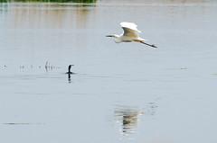 DSC_2575 (Clickingnan) Tags: somersetlevels rspb hamwall glastonbury avalon marshes bird egret