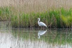 DSC_2552 (Clickingnan) Tags: somersetlevels rspb hamwall glastonbury avalon marshes bird egret
