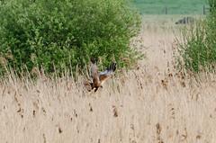 DSC_2548 (Clickingnan) Tags: hamwall rspb marshharrier bird marshes avalon glastonbury somersetlevels