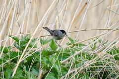 DSC_2527 (Clickingnan) Tags: somersetlevels rspb hamwall avalon marshes glastonbury birds blackcap