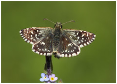 Grizzled Skipper - Pyrgusmalvae. (nigel kiteley2011) Tags: grizzledskipper pyrgusmalvae lepidoptera butterfly butterfrlies macro insect nature canon 5dmk3 sigma180mm