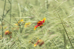 Blowing in the Wind IMG_0031 (3Bs7Gs) Tags: wildgrasses indianblanket gaillardia wildflowers texaswildflowers