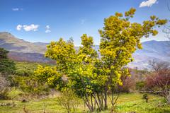 mimosa en la sierra (mibagui22) Tags: sierra pradera montaña mimosa flor paisaje vegetación