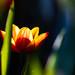 Fire Tulip