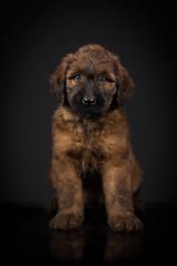 Briard pup 8wks (Matthew Brown 7) Tags: briard puppies 8wks lowkey portrait nikond750 strobist
