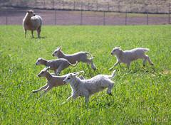 Runaway lamb, Norway (KronaPhoto) Tags: 2019 vår natur