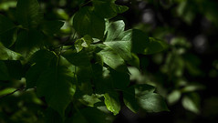 Deep Green Leaves IMG_0059 (3Bs7Gs) Tags: green trees treeleaves deepgreen forest deepshadows greenshadows collincountytexas greengreenleavesofsummer fabulousfoliage