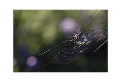 The Wonder of the Web. (muddlemaker1967) Tags: hampshire wildlife photography stoke park woods web spider arachnid backlighting highlights spring 2019 woodland fujifilm xt2 nikkor 200mm f4 ai manual focus lens fotodiox adapter extension tube