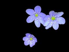 FLORS DE LA GARROTXA (Joan Biarnés) Tags: flors garrotxa macro girona 311 panasonicfz1000