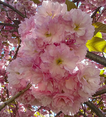 Under the cherry moon (Jersey JJ) Tags: under the cherry blossom moon bloom flowers tree colorful mother nature cell phone photography image