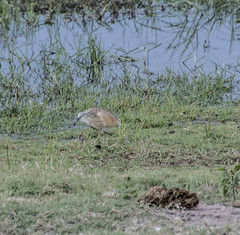 DSC_3314_1 (Marshen) Tags: squaccoheron botswana