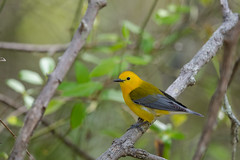 Prothonotary Warbler (rob.wallace) Tags: 2019springmigration