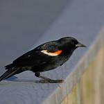 Red-winged Blackbird (John Heinz NWR) thumbnail