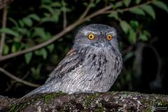 Tawny Frogmouth (Dreamtime Nature Photography) Tags: tawnyfrogmouth podargusstrigoides sydneyharbournationalpark bird aves oiseau pajaro wildlife canon animal dreamtimenaturephotography nsw newsouthwales nature australia