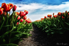 Dark Forest (Alfred Grupstra) Tags: tulip nature flower plant red springtime outdoors sky greencolor summer multicolored flowerbed beautyinnature leaf flowerhead field season blue yellow petal tulips clouds