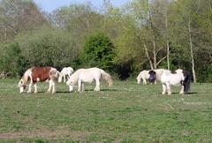 Ponies along the Loddon Lily Walk, April 2019 (2) (karenblakeman) Tags: readinggreendrinkswalk loddon berkshire uk april 2019 ponies field trees