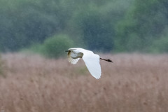 Great White Egret in the rain (wryneck94) Tags: birdwatching somersetlevels somerset