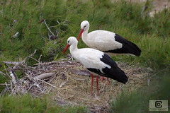 Zoo de Sigean (damzed) Tags: pentaxk3 sigma70300apo occitanie aude sigean zoo règneanimal oiseau cigogne échassier deux