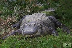 Zoo de Sigean (damzed) Tags: pentaxk3 sigma70300apo occitanie aude sigean zoo règneanimal mammifère reptile alligator