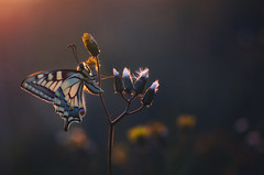 Spring joy (donlope1) Tags: macro nature light papillon butterfly machaon insect proxy wild wildlife bokeh