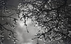 img267 (Vakkor's Photostream) Tags: analog analogfilm technicalfilm kodak rodinal nikonn90s flowers spring micronikkor5528ais selfdeveloped nature