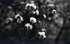 img257 (Vakkor's Photostream) Tags: analog analogfilm technicalfilm kodak rodinal nikonn90s flowers spring micronikkor5528ais selfdeveloped nature