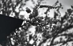 img251 (Vakkor's Photostream) Tags: analog analogfilm technicalfilm kodak rodinal nikonn90s flowers spring nikkor10525ai selfdeveloped nature