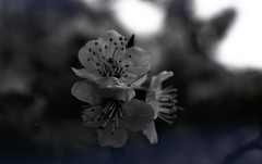 img250 (Vakkor's Photostream) Tags: analog analogfilm technicalfilm kodak rodinal nikonn90s flowers spring micronikkor5528ais selfdeveloped nature