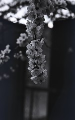 img249 (Vakkor's Photostream) Tags: analog analogfilm technicalfilm kodak rodinal nikonn90s flowers spring micronikkor5528ais selfdeveloped nature