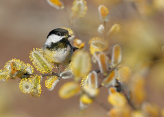 Black-capped Chickadee (ryanmense) Tags: blackcappedchickadee chickadee bird birding animal wildlife pollen willow tree perch wisconsin