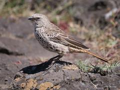 Rufous-tailed Weaver Histurgops ruficeps (nik.borrow) Tags: bird weaver ngorongoro