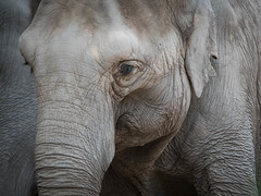 Beautiful Wrinkles (Valérie C) Tags: zoo nikon 75300 portrait elephant animal d750 nikkor zurich