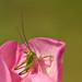 Grasshopper inside a Tulip