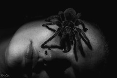 Braver than me!! (Dan Elms Photography) Tags: danelms danelmsphotography wwwdanelmsphotouk reptile reptiles nature animal essexreptileencounters spider tarantula