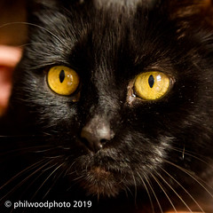 365-2019-117 - Golden eyes (phil wood photo) Tags: 365 365colorfun 365colourfun april black cat color365 colour365 dirtyface ebony eyes yellow