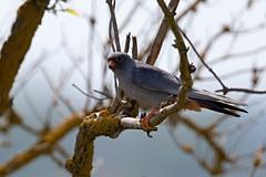 AL6I3153 (chavko) Tags: flickr jozefchavko bird hawk falco vespertinus redfooted falcon slovakia sky animal people photo wildlife