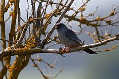 AL6I3137 (chavko) Tags: flickr jozefchavko bird hawk falco vespertinus redfooted falcon slovakia sky wildlife sokol kobcovitý červenonohý