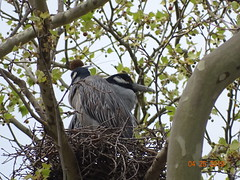 YCNH BEST DSC07381 (Patricia Hilliard) Tags: bird heron yellow crowned night
